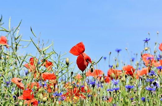 Poppy, Alpine Cornflower, Centaurea Montana, Flower