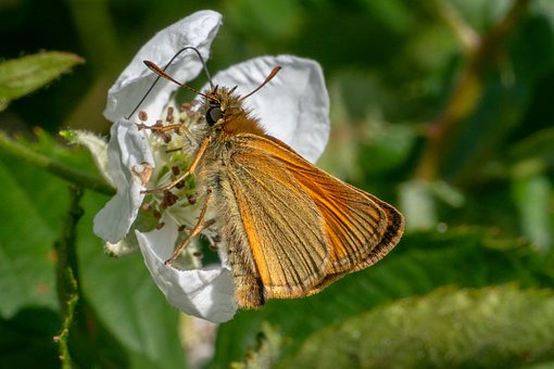 Skipper, Insect, Butterfly, Butterflies, Nature, Close