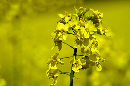 Oilseed Rape, Rape Blossom, Yellow, Close, Macro