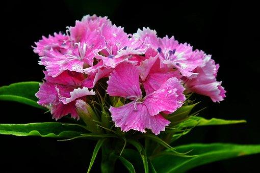 Flower, Gożdzik Stone, Pink, Nature, Closeup, Spring
