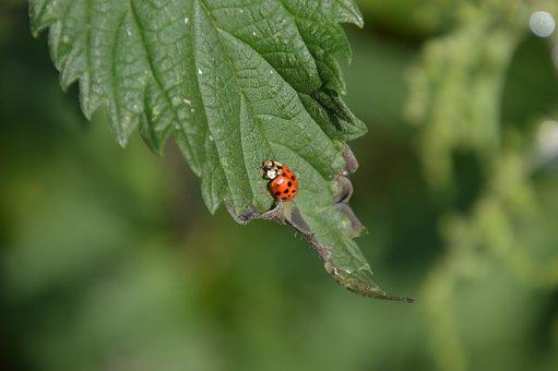 Ladybug, Coccinella Septempunctata, Leaf, Garden, Idyll