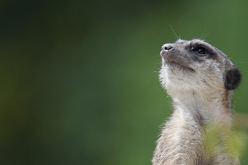 Meerkat, Watch, Guard, Mammal, Supervisor, Cute