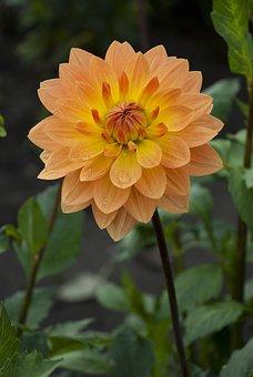 Dahlia, Oranjebloem, Flowers Field, Outdoor, Summer
