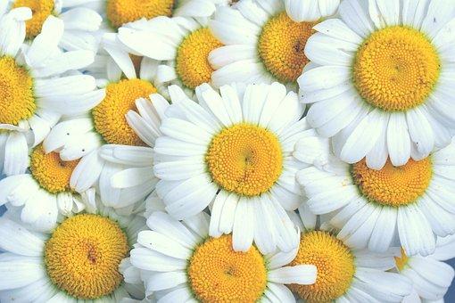 Daisy, Chamomile, Flowers, White Flowers, Yellow Center