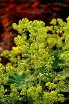 Frauenmantel, Plant, Shrub, Summer, Floral