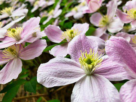 Clematis, Pink, Flower, Blossom, Bloom, Climber, Close