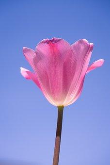 Tulip, Pink, Tulip Pink, Pink Tulips, Flower