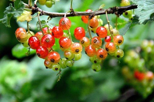 Fruit, Berries, Currants, Immature, Garden