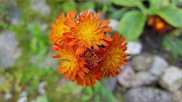 Hawkweed, Flower, Bloom, Orange, Garden Plant