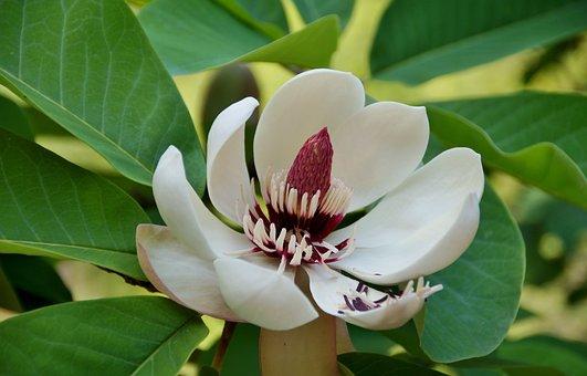 Magnolia, Tree, Ornamental, Flower, Interesting, Rare