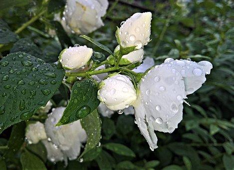 Flowers, Jasmin, Ornamental Shrub, Jasmine Flower