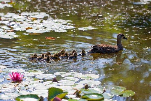 Pond, Duck, Water Lilies, Aquatic Plants, Lotus