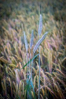 Barley, Wheat, Meadow, Field, Arable, Macro