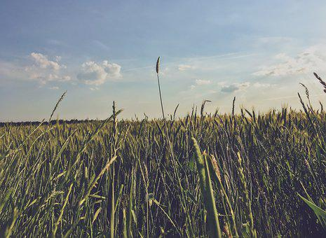 Meadow, Corn, Field, Nature, Agriculture, Summer