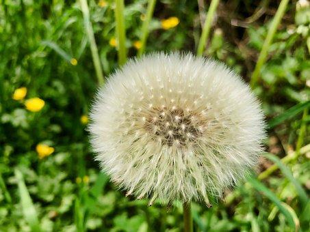 Dandelion, Close, Common Dandelion, Taraxacum, Nature