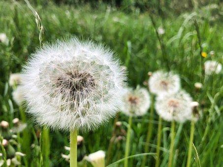 Dandelion, Close, Common Dandelion, Macro, Nature