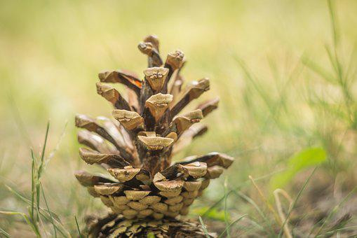 Pine Cone, Pine, Tree, Nature, Season, Evergreen, Wood