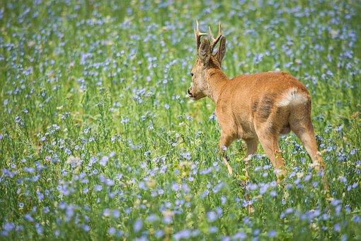 Roe Deer, Meadow, Wild Animal, Nature, Antler