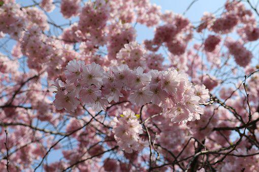Cherry Blossom, Landscape Format, Pink, Tree, Nature