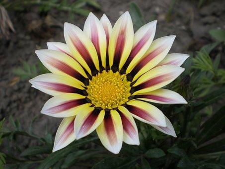 Gazania, Flower, Astrov, Plant, Nature, Petals