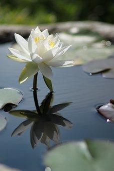 Kite, Lotus, Water Lilies, Nature, Flowers, Plants