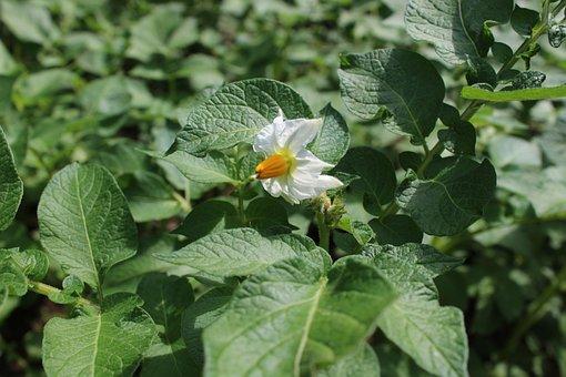 Potato Blossom, Potato, Nachtschattengewächs