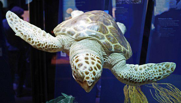 Large Sea Turtle, Ozeaneum, Stralsund, Prepared