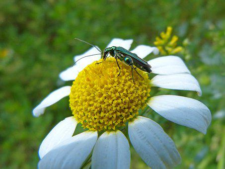 Green Beetle, Psilothrix Viridicoerulea, Margaret Wild