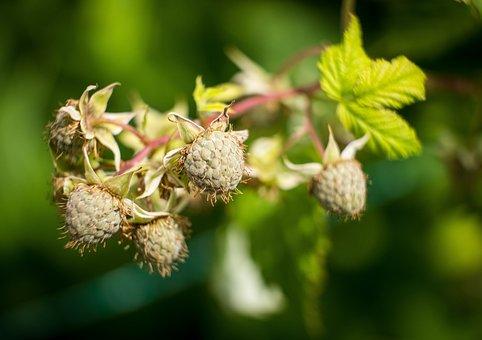 Raspberries, Growth, Raspberry Bud, Immature, Grow