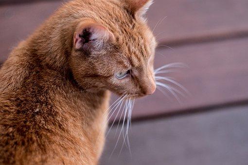 Cat, Pet, Animal, Red Cat, Mammal, Wildlife Photography
