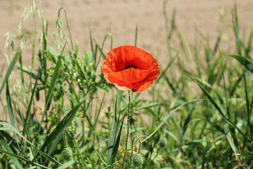 Poppy, Flower Field, Red, Poppy Flower, Flowers, Plants