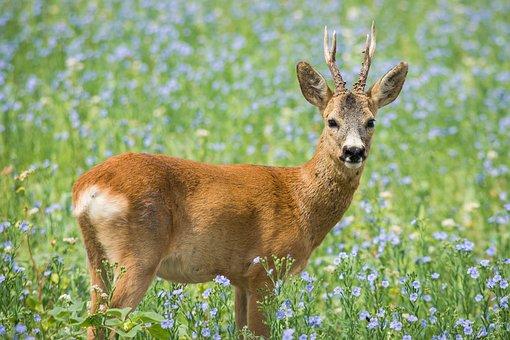 Roe Deer, Meadow, Wild Animal, Nature, Antler, Scheu