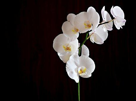 Flower, Orchid, Room Flower, Plant, Macro