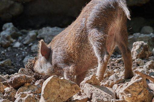 Pig, Dig, Boar, Nature, Truffle, Search, Sow, Forest