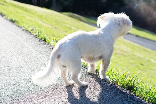 Dog, White Dog, Small, Small Dog, Look, Watch, Pet