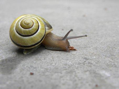 Snail, Nature, Mollusc, Cochlea, Invertebrates, Slow