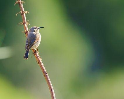 Southern Double-collared Sunbird, Sunbird, Female, Bird