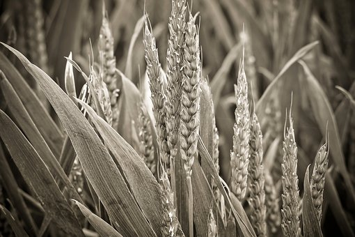 Nature, Spike, Cereals, Field, Grain, Plant