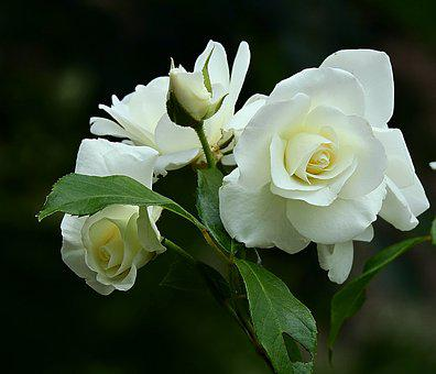 White Rose, Beauty, Spring, Flower, The Delicacy