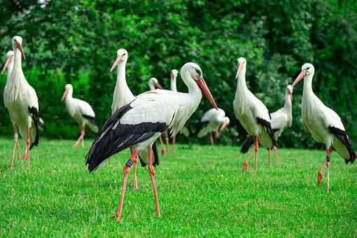 Storks, Bird On A Green Meadow, Free Running Storks