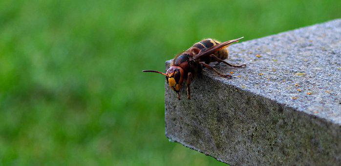 Hornet, Vespa Crabro, Insect, Wasp, Animal, Garden
