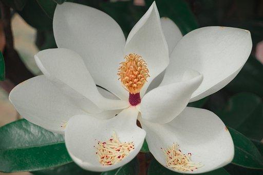 Magnolia, Flower, Plant, Pollination, White Flower
