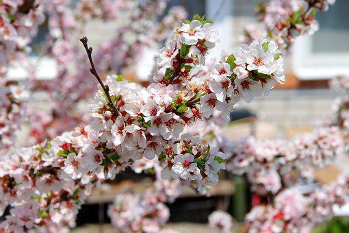 Cherry, Bloom, Cherry Blossoms, Spring, White Flowers