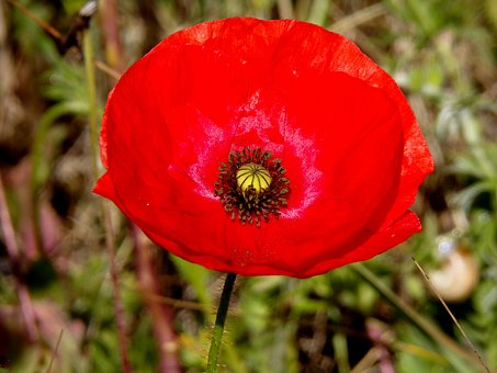 Poppy, Flower, Red Flower, Red, Wild Flower, Fields