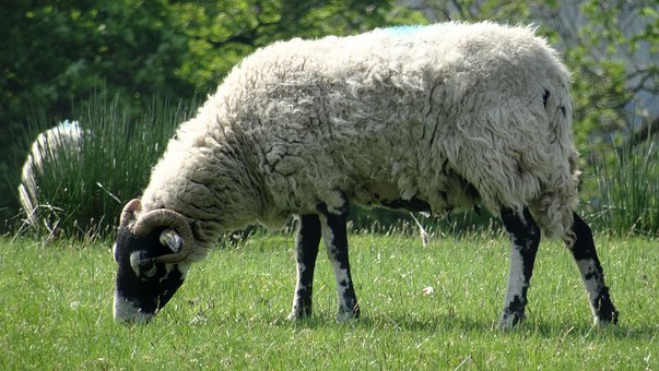 Sheep, Ram, Farm, Wool, Nature, Mammal, Wildlife