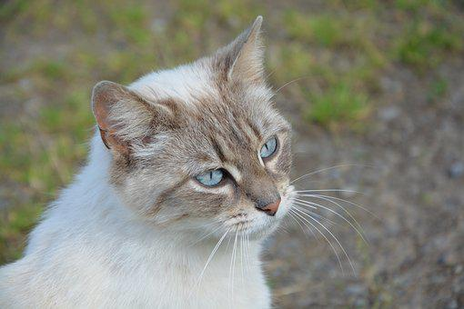 Young Cat, Domestic Animal, Mammal, Animal, Blue Eyes