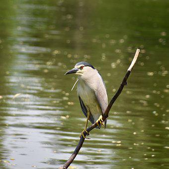 Birds, Night Heron, Bird, Zoo, Summer