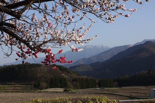 Spring, Peach Blossoms, 井戸尻