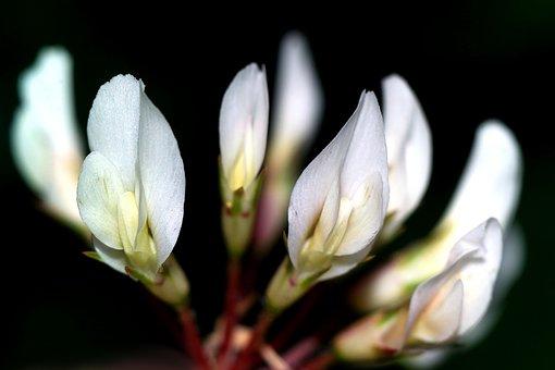 Clover, Flower, A Flower Of The Field, Plants, Meadow