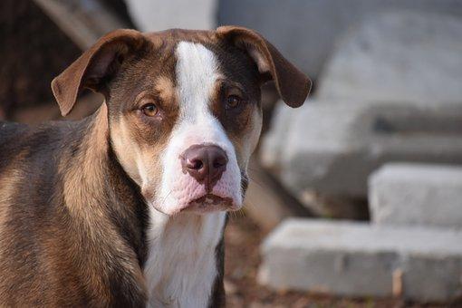 Dog, Mammal, Portrait, Pet, Animal, Canine, Pittbull